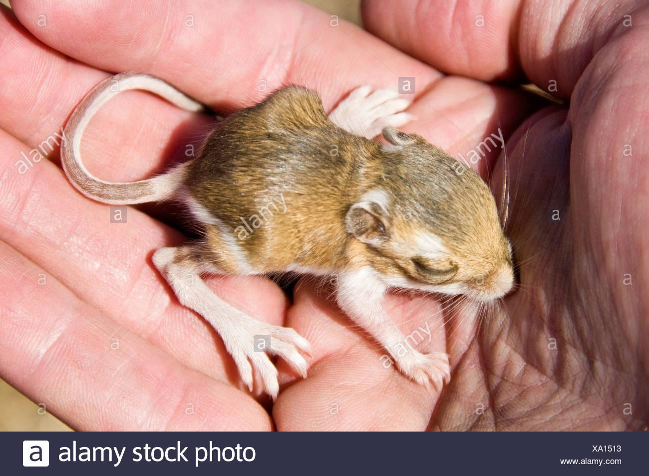 baby kangaroo rat stock