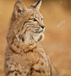 bobcat portrait [ 864 x 1390 Pixel ]