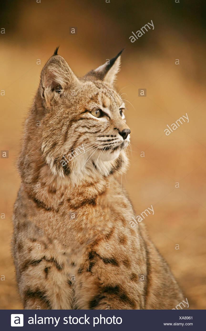 medium resolution of bobcat portrait