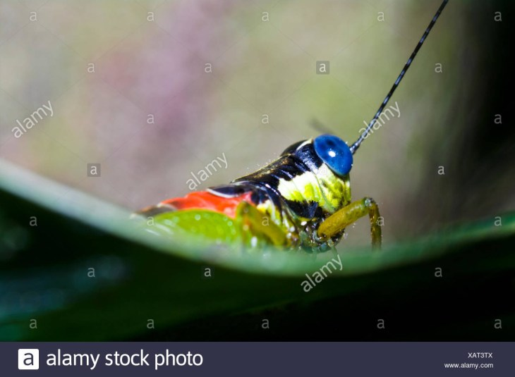 The blue eyes of a colorful grasshopper resting on a leaf in the Amazon  rainforest.