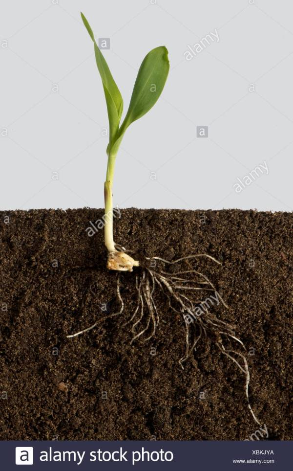 Corn Plant Root System