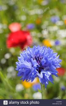 Centaurea Cyanus Cornflower Mixed Stock &