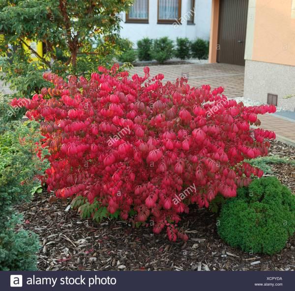 burning bush kaufen # 24