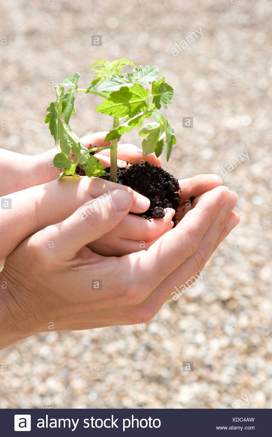 hands cupping seedling stock