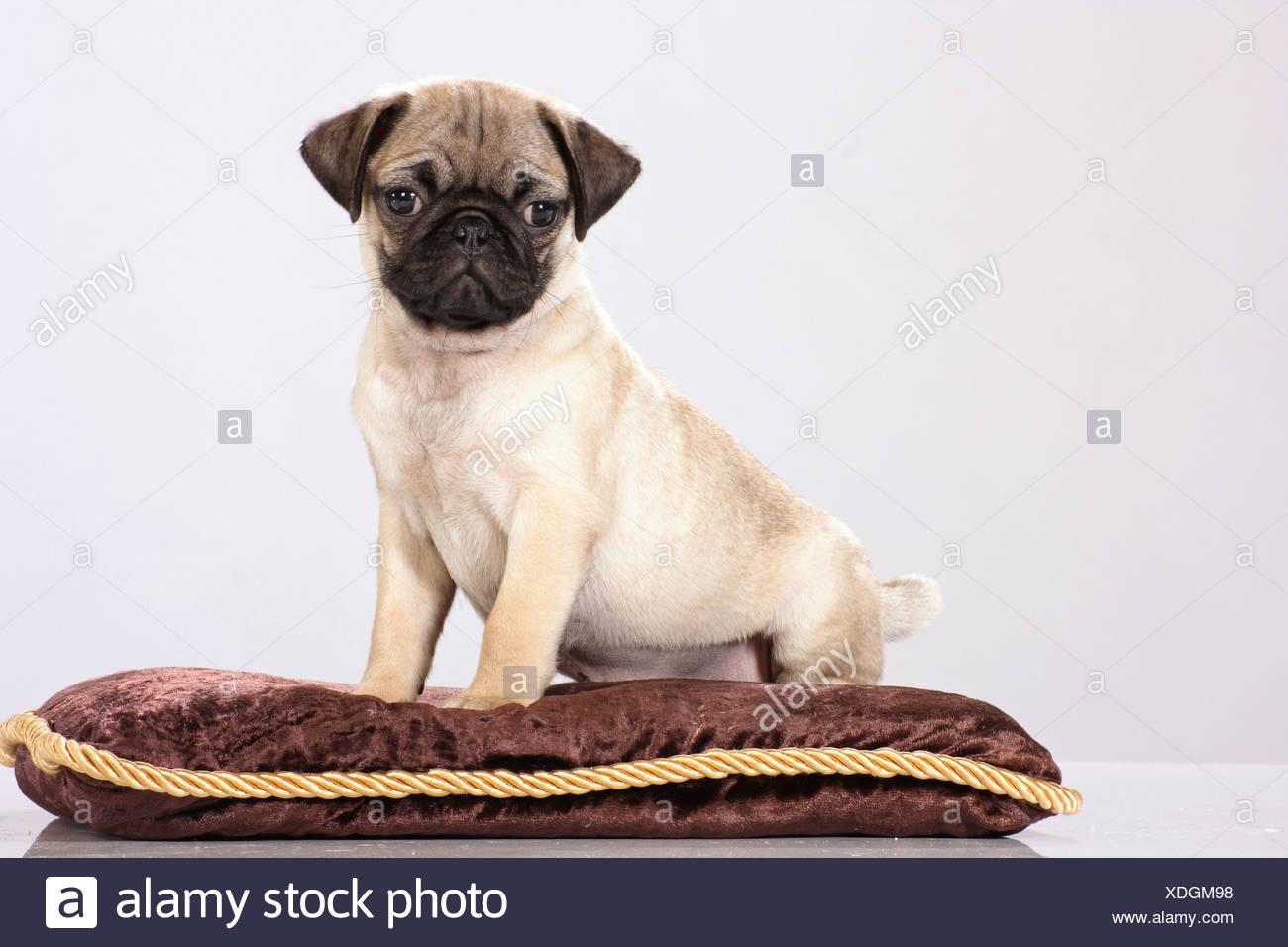 https www alamy com pug puppy sitting on pillow image283723588 html