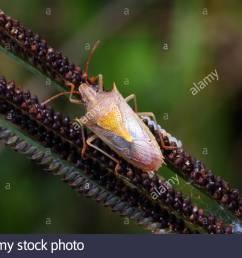a rice stink bug oebalus pugnax crawling on a plant stalk  [ 1300 x 956 Pixel ]