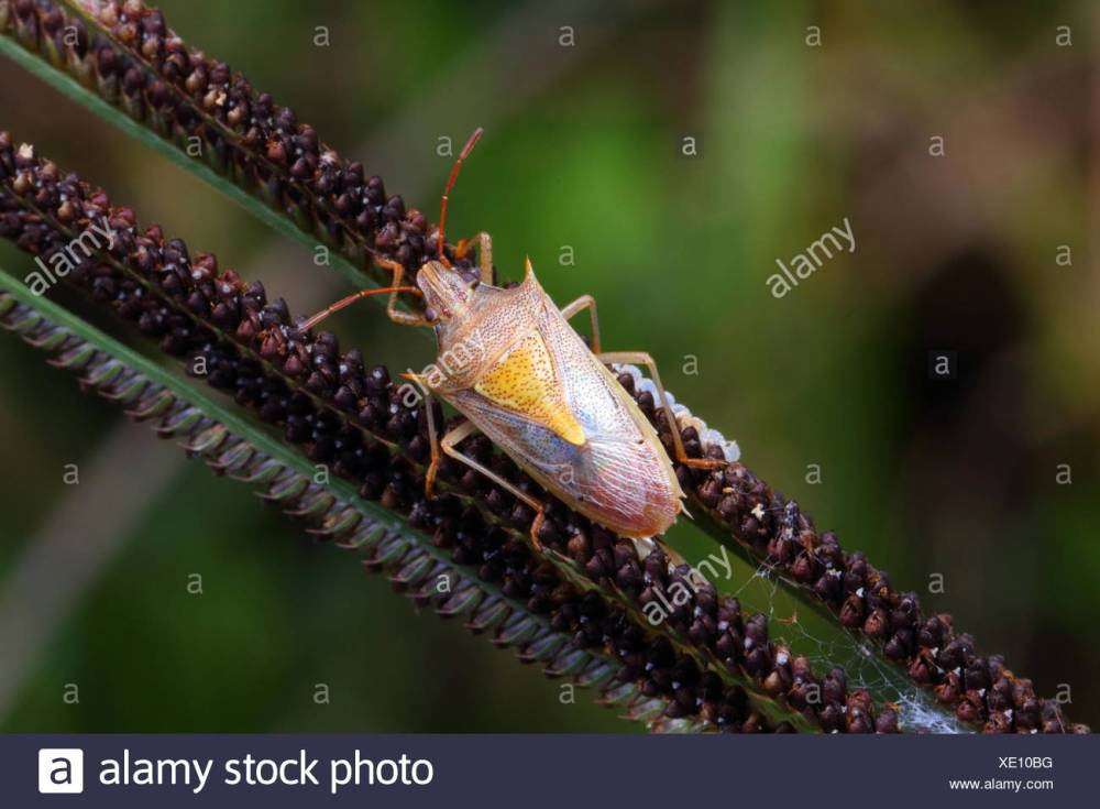 medium resolution of a rice stink bug oebalus pugnax crawling on a plant stalk