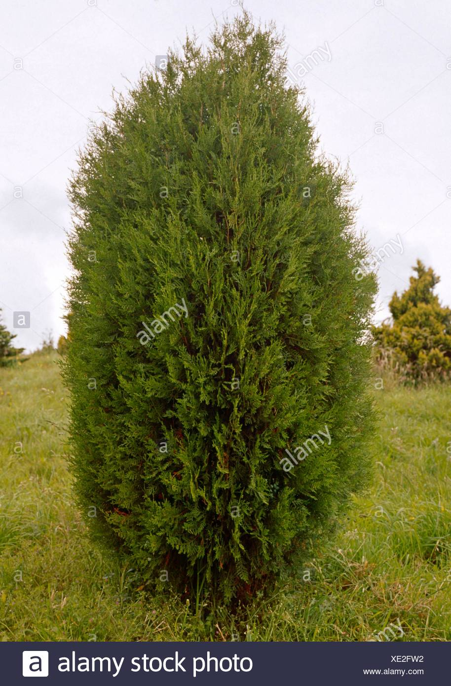 Berühmt Thuja Orientalis | Thuja Orientalis Pine Tree Stock Photo Edit Now &EC_59