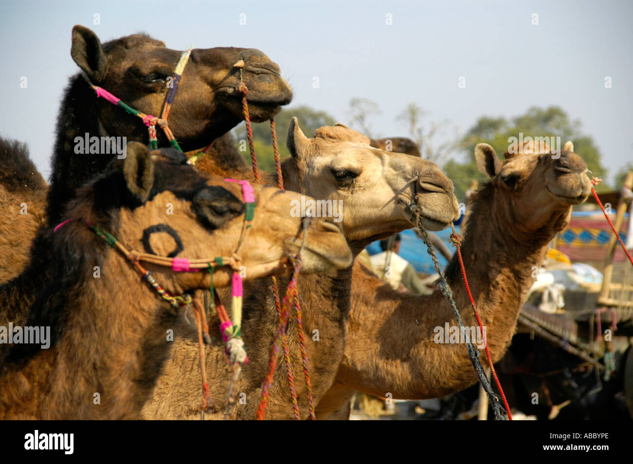 Hochflor Teppich Stoney Proud Camel Stockfotos And Proud Camel Bilder Alamy
