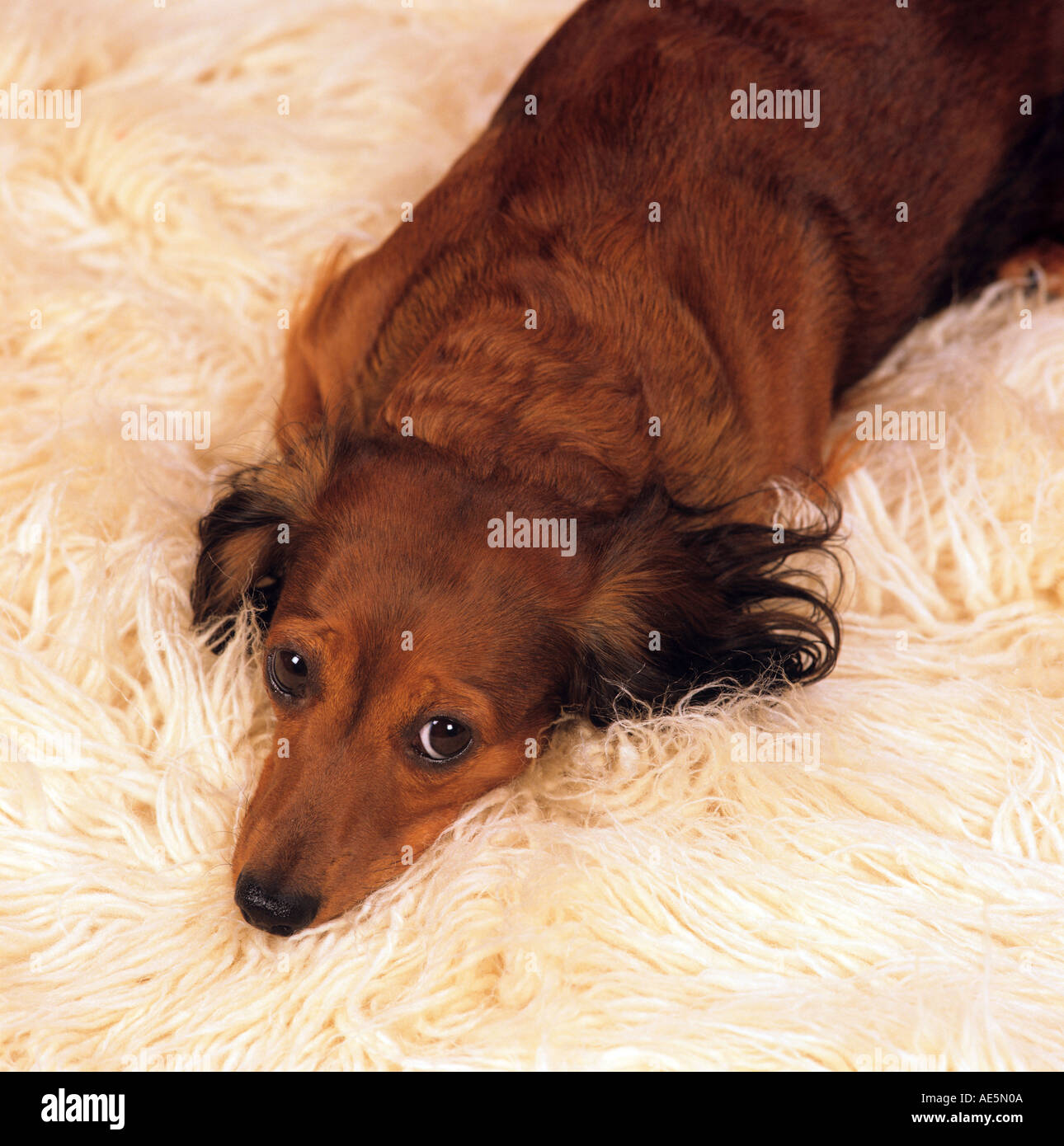Teppich Wohnzimmer Hund Lying Longhaired Dachshund Stockfotos And Lying Longhaired