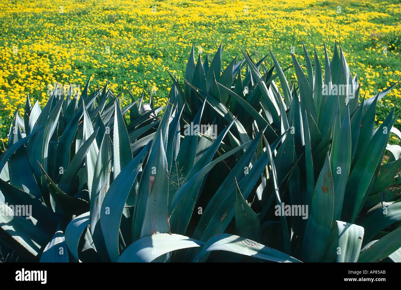 Agrave Pflanzen wachsen im Feld Mallorca Balearen Spanien Stockfoto Bild 1476010  Alamy