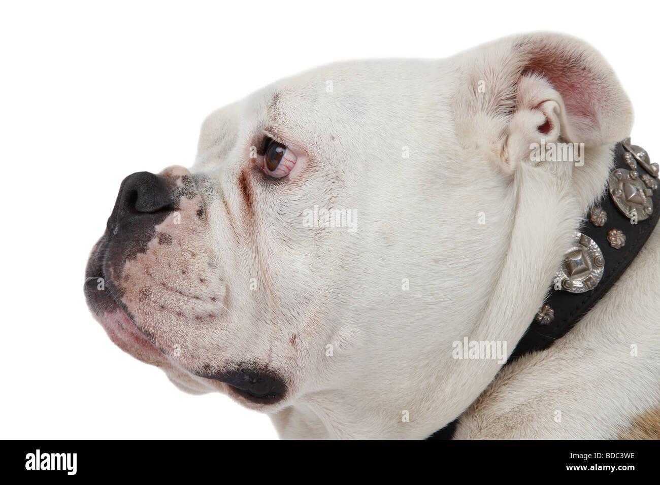 Englische Bulldogge Canis Lupus F Familiaris portrait