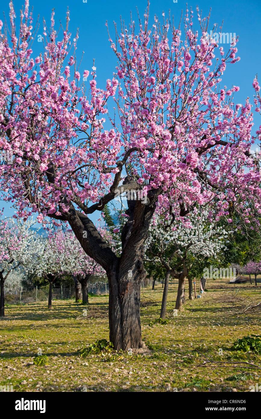 Blhende Mandelbume Prunus Dulcis in der Nhe von Alaro