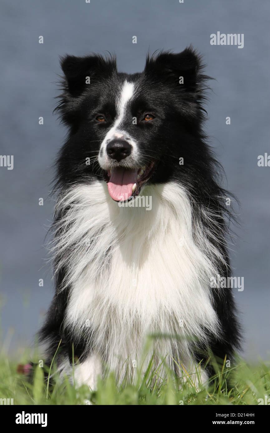 Hund Border Collie Erwachsenen Schwarz Weiss Portrait