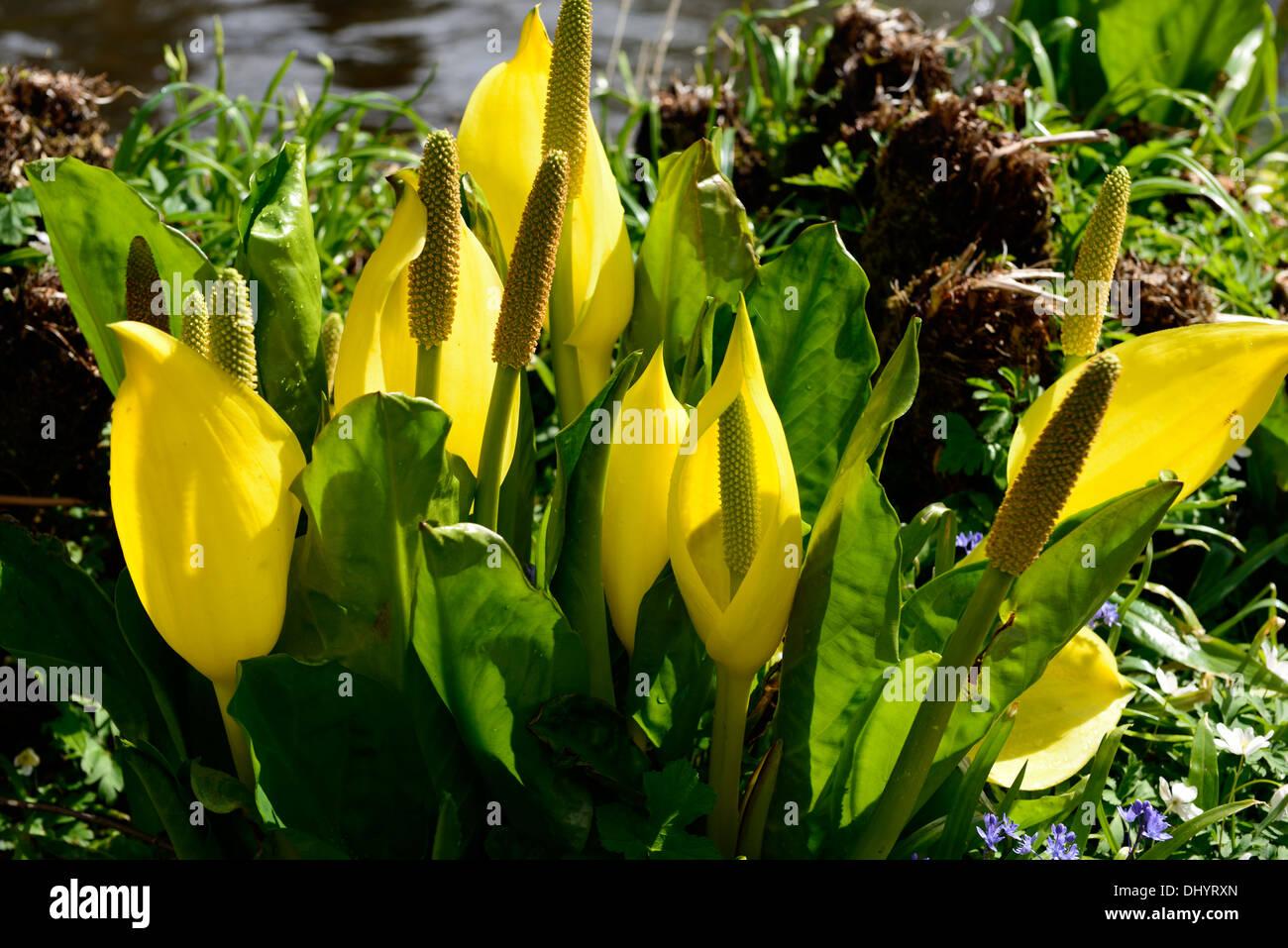 Lysichiton Americanus gelb Skunk Cabbage Blumen Blte