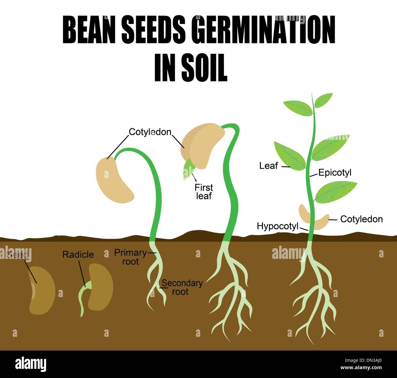 Reihenfolge Der Bohne Samen Keimen Vektor Abbildung