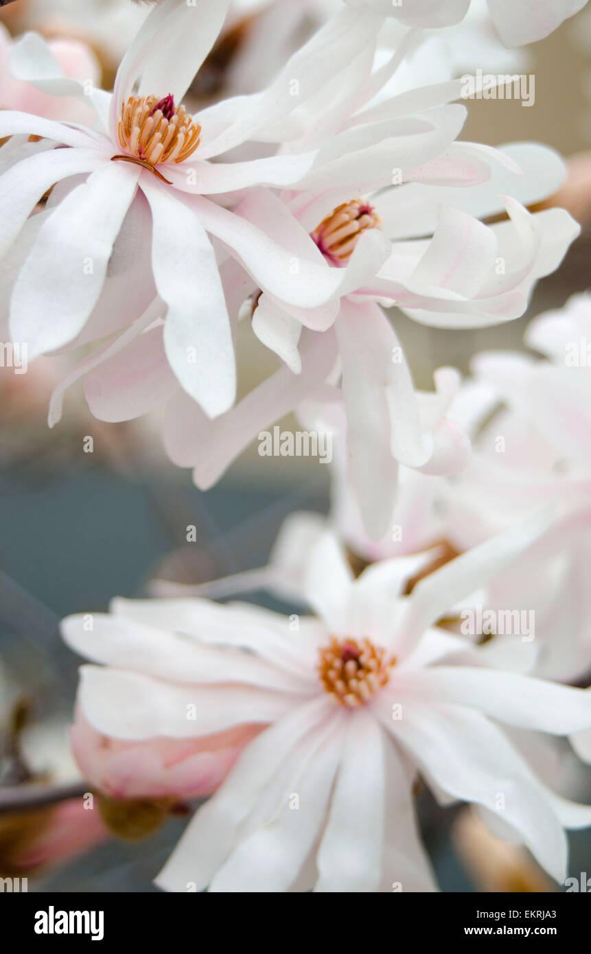 Magnolie Stockfotos  Magnolie Bilder  Alamy