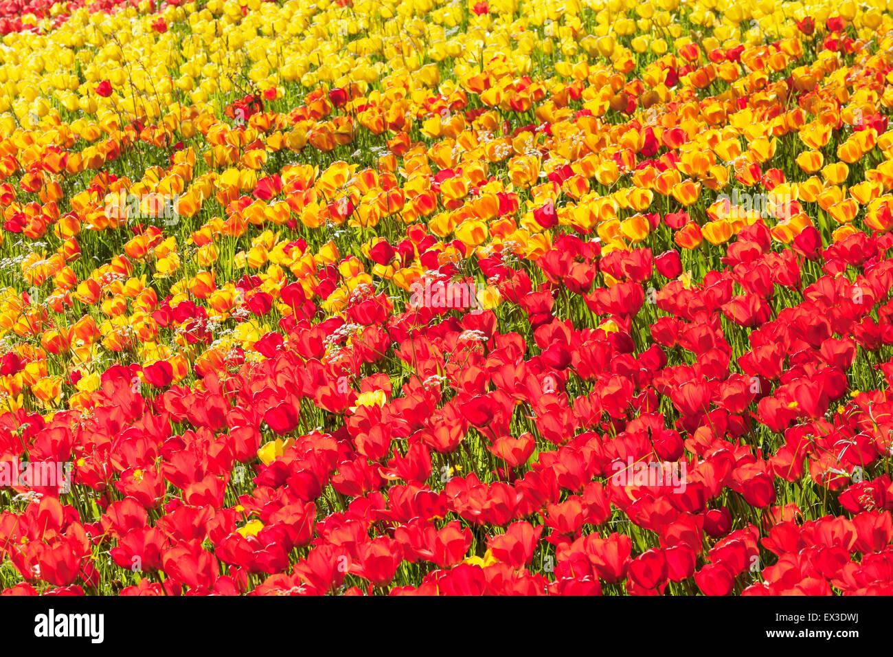 Tulip Tulipa Tulpe Insel Mainau Stockfotos  Tulip Tulipa