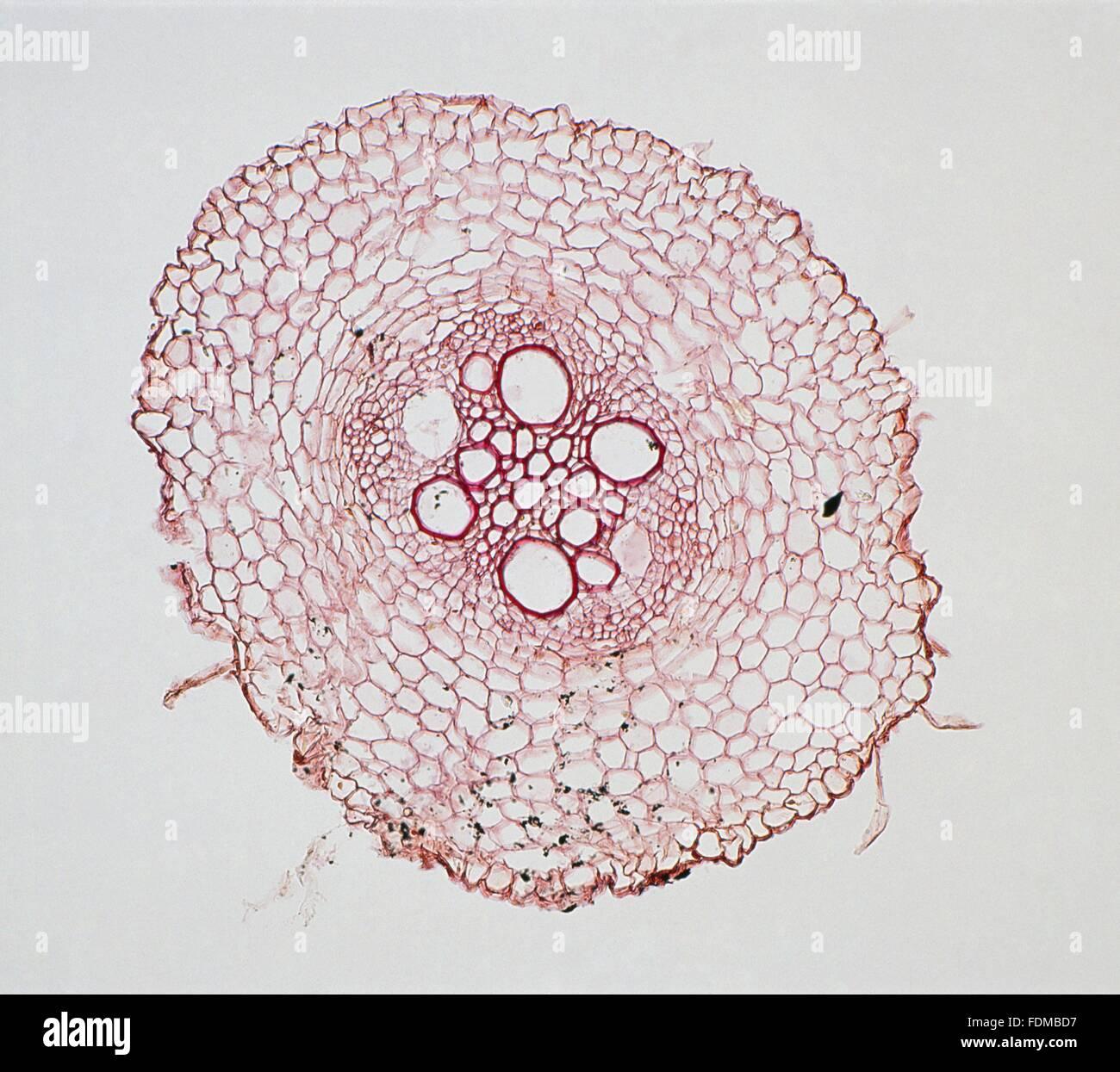 Schliffbild Der Querschnitt Durch Eine Einkeimblattrigen