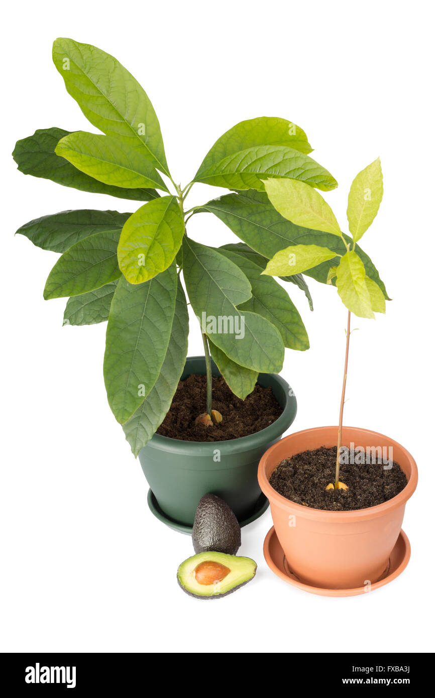 avocadobaum pflanzen. Black Bedroom Furniture Sets. Home Design Ideas