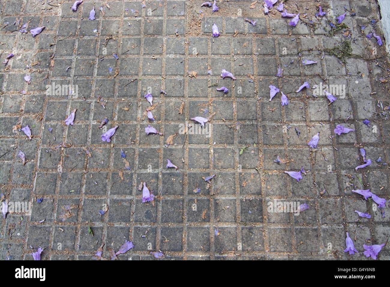 Jacaranda lila blaue Blumen auf Strae in Mallorca Balearen Spanien im Juni Stockfoto Bild