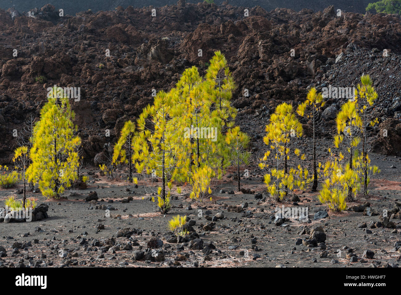7pines teneriffa draw block diagram kanarische kiefer pinus canariensis in vulkanlandschaft