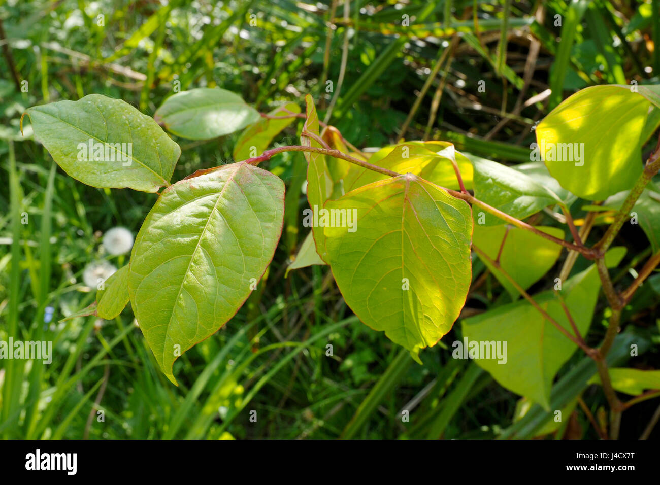 Der Magische Findhorn Garten Leaves Stem Japanese Knotweed Plant Stockfotos And Leaves