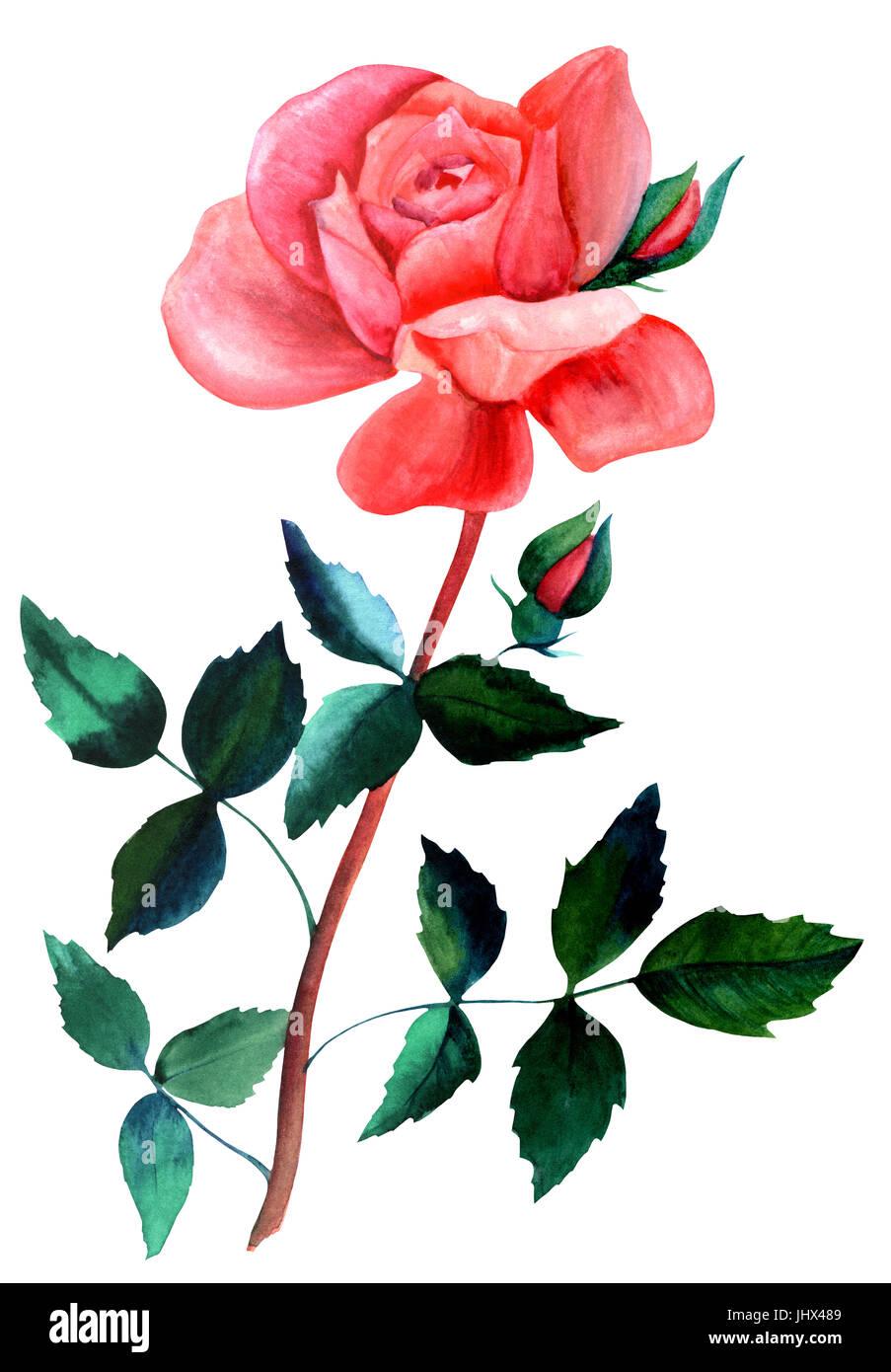 Ein Aquarell Zeichnung von einer roten rose Blume