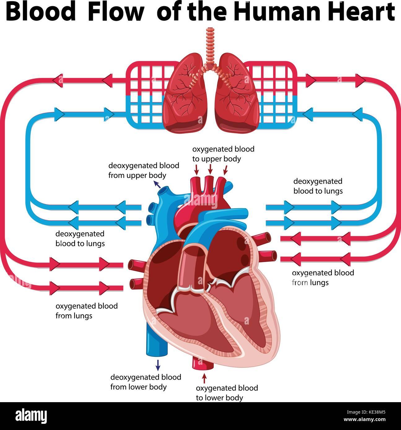 Diagramm Mit Den Blutfluss Des Menschlichen Herzens