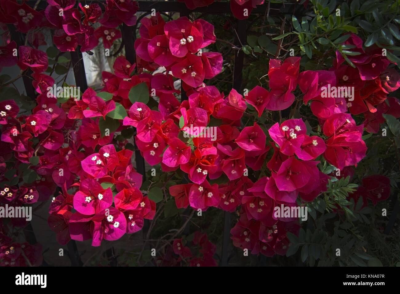 Rote Bougainvillea Blumen Closeup in Palma De Mallorca im