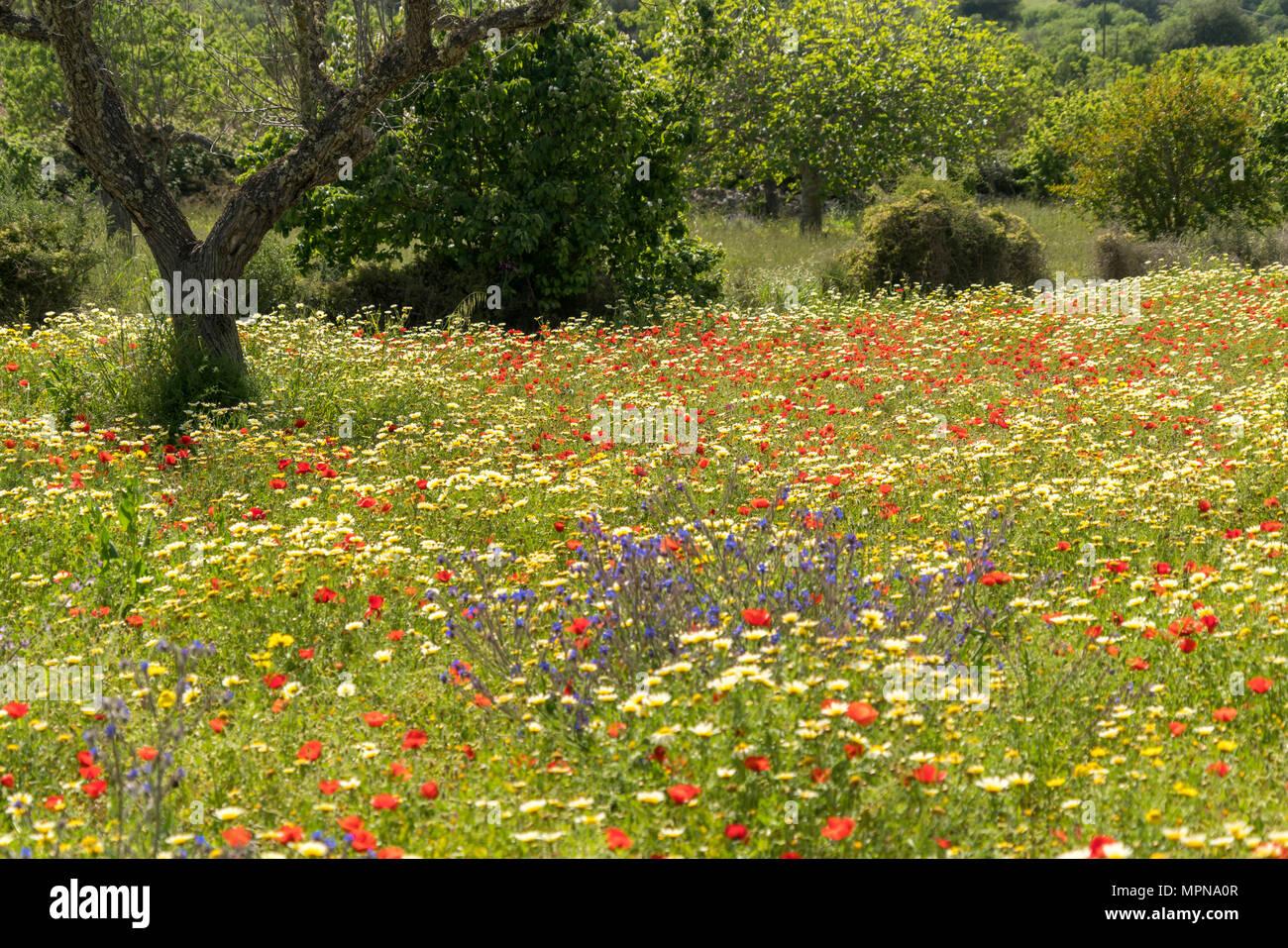 Wiese voller bunter Frhlingsblumen Mallorca Balearen Spanien  Frhlingswiese mit bunten