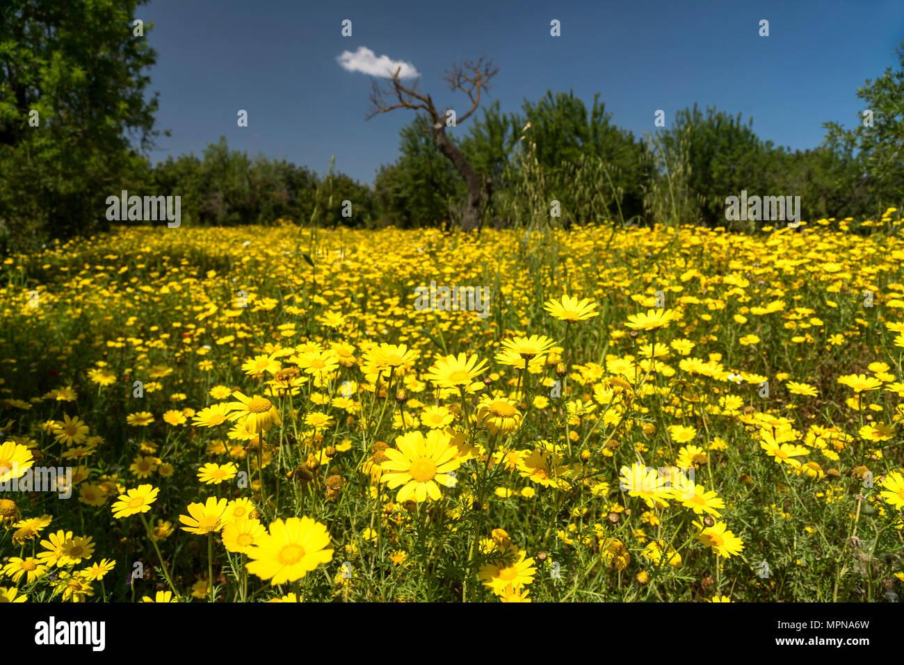 Wiese voller gelber Frhlingsblumen Mallorca Balearen Spanien  Frhlingswiese mit gelben