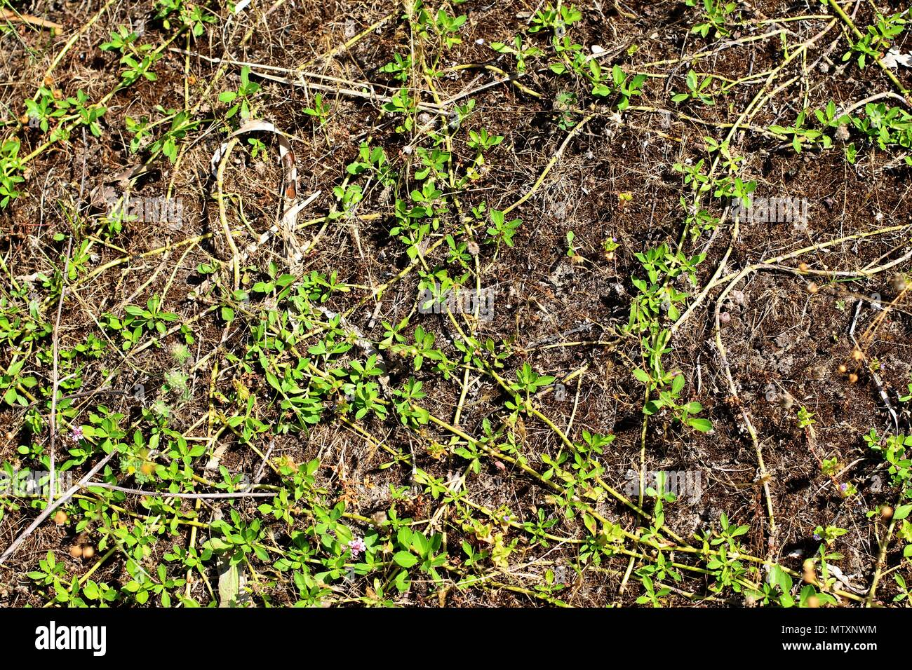 Teppich Verbene Phyla Stockfotos And Phyla Bilder Alamy