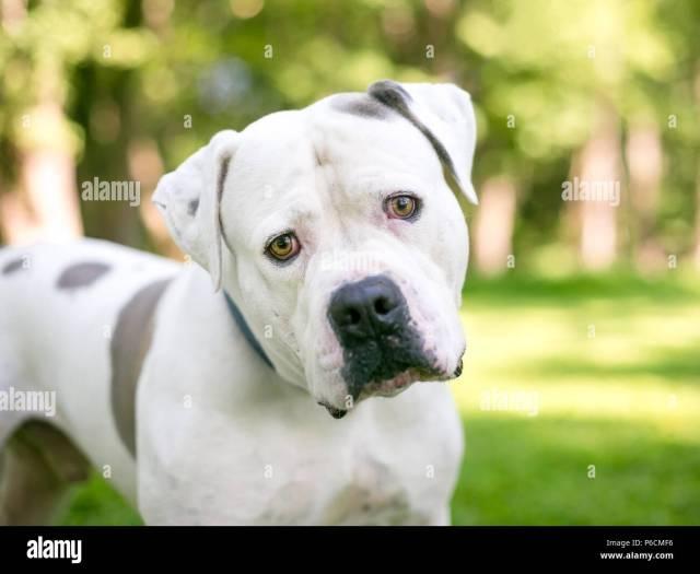 ein weißes american bulldog mischling hund mit braunen
