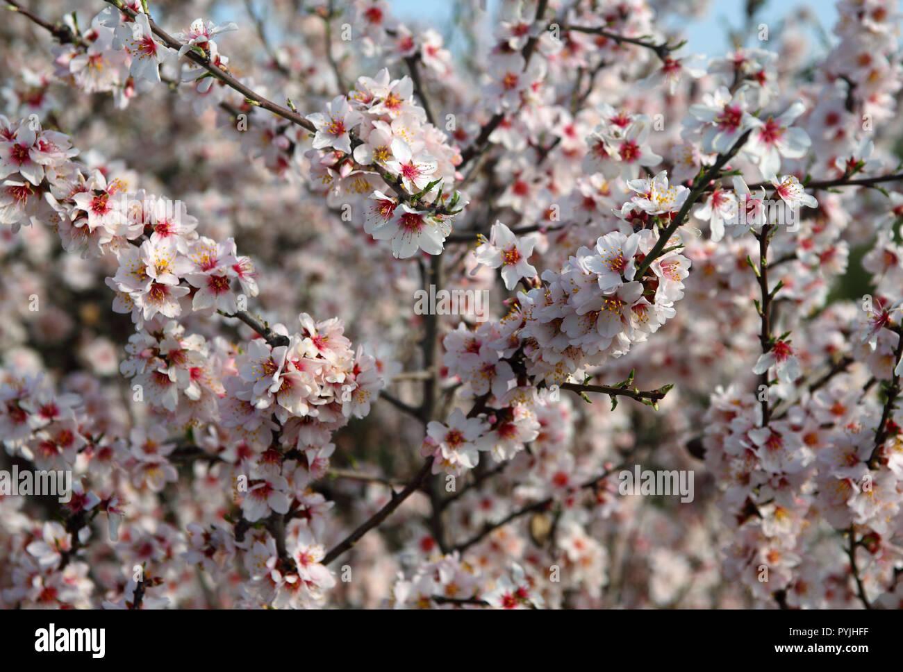 Spanien Andalusien Frhling Blumen Mandelblte in