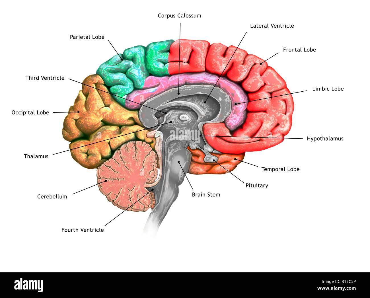 Abbildung Einen Querschnitt Des Gehirns Zeigt