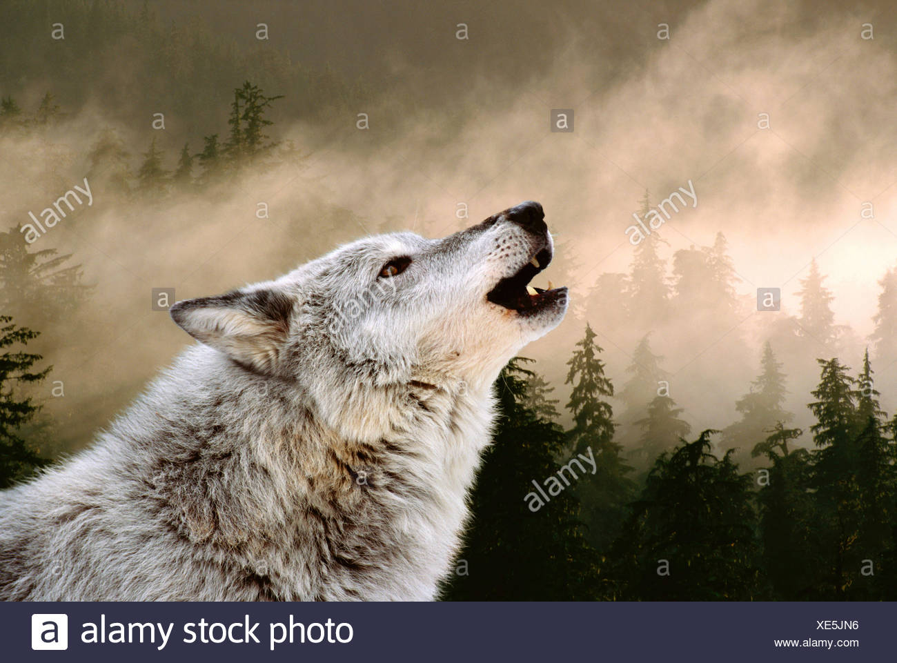 Heulender Wolf Bilder Zum Ausdrucken