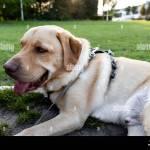 Blonde Labrador Retriever Fotos E Imagenes De Stock Alamy