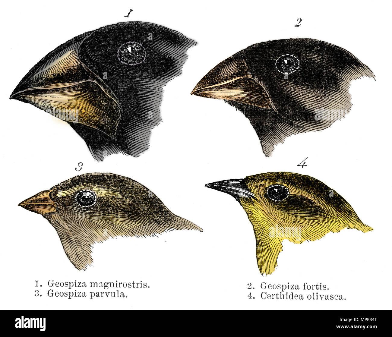 Cuatro Especies De Pinzones Observados Por Darwin En Las