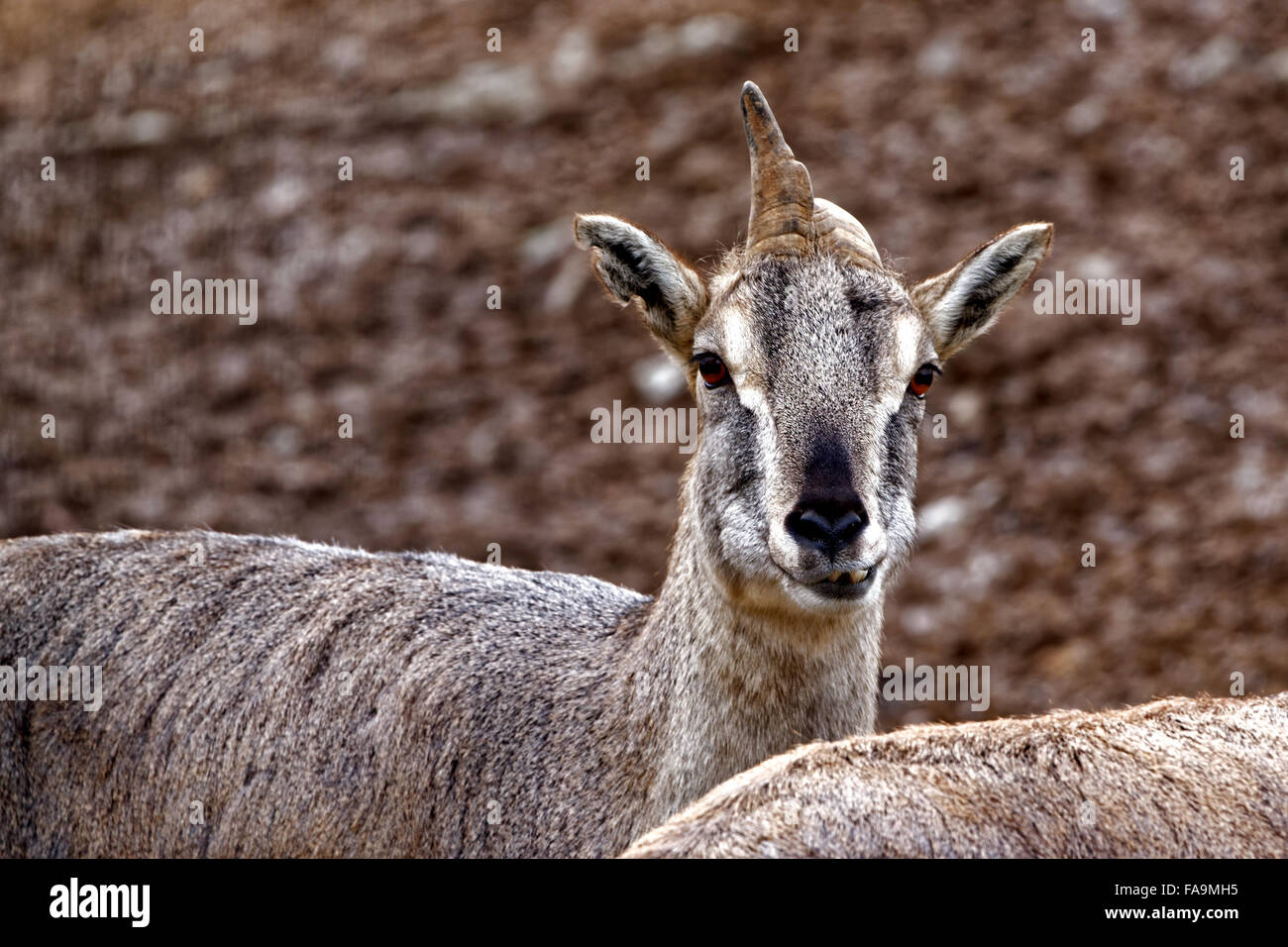 https www alamyimages fr photo image bharal ou bleu de l himalaya ou de mouton pseudois nayaur naur est un caprid trouves dans le haut himalaya de l inde nepal bhoutan tibet 92412129 html