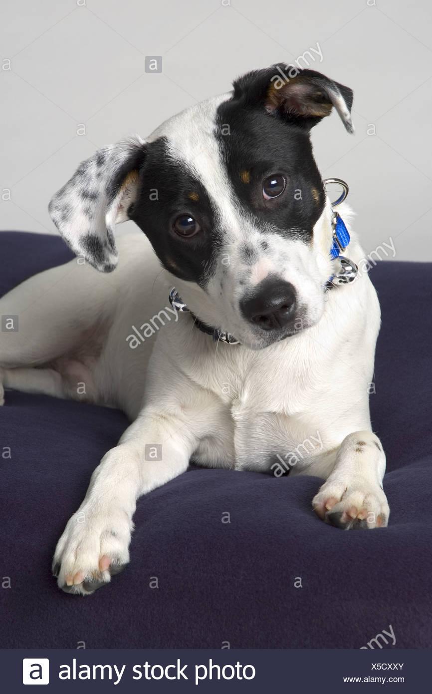 Petit Chien Noir Et Blanc : petit, chien, blanc, Petit, Chien, Blanc, Photo, Stock, Alamy