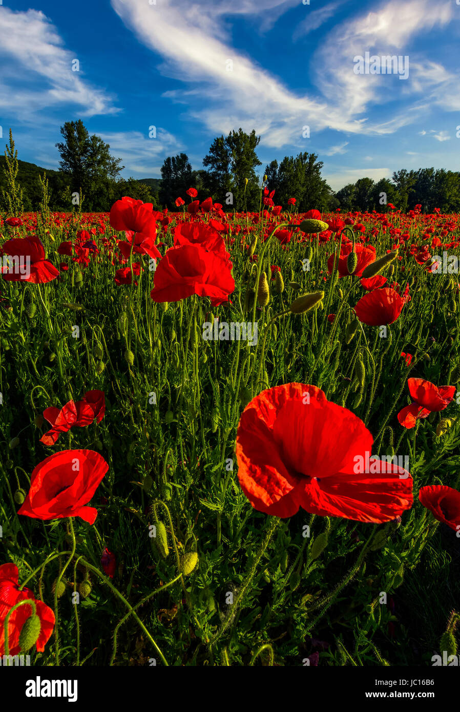 Field Poppies Mountains In Background Immagini  Field Poppies Mountains In Background Fotos Stock  Alamy