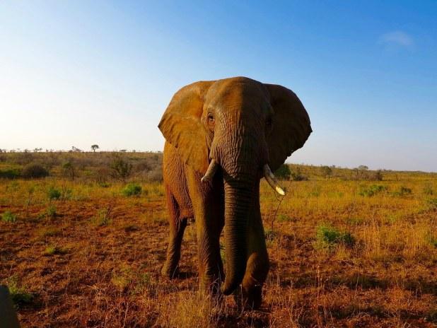 Elefantes en Sudafrica