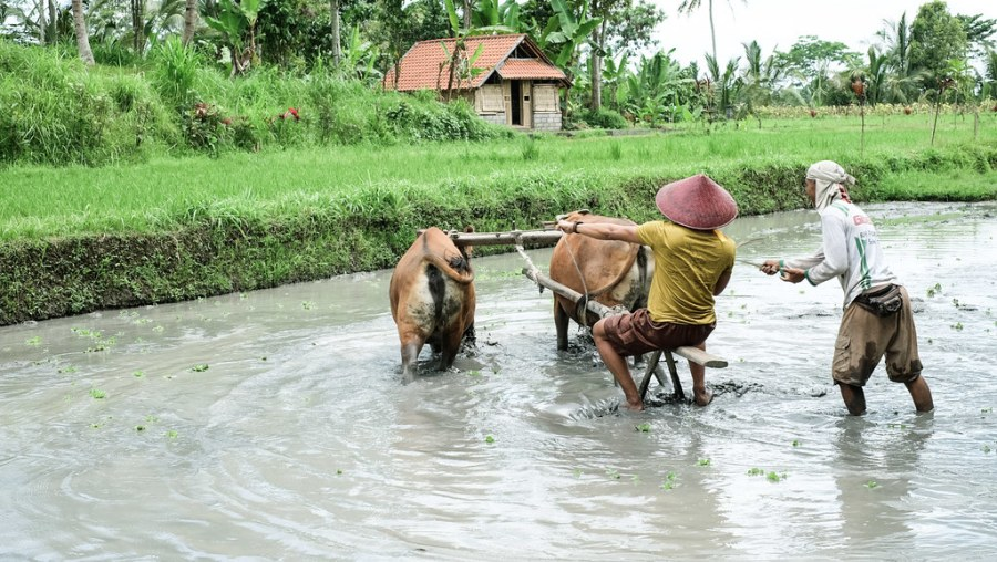 buffalo ride at rice paddies (13 of 25)