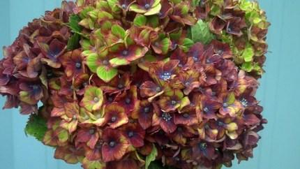 tri colored hydrangeas