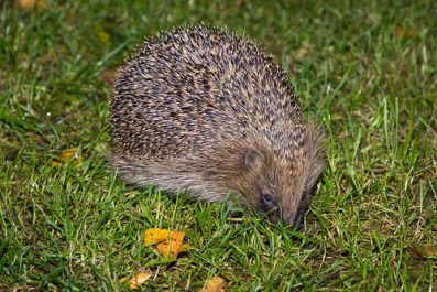 Hedgehog looking for mealworms in garden
