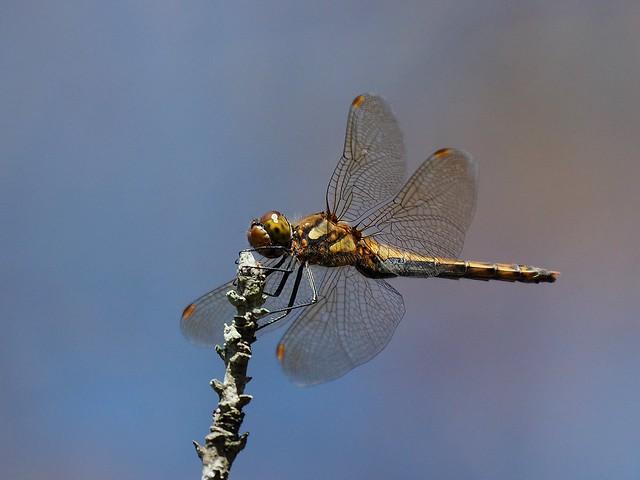 Female white-tailed skimmer dragonfly (Orthetrum albistylum, ムギワラトンボ)