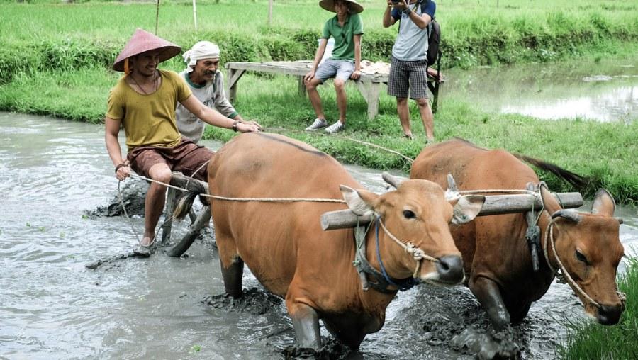buffalo ride at rice paddies (20 of 25)