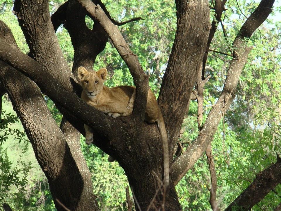 Leones Safari Parque Nacional Lago Manyara Tanzania 07