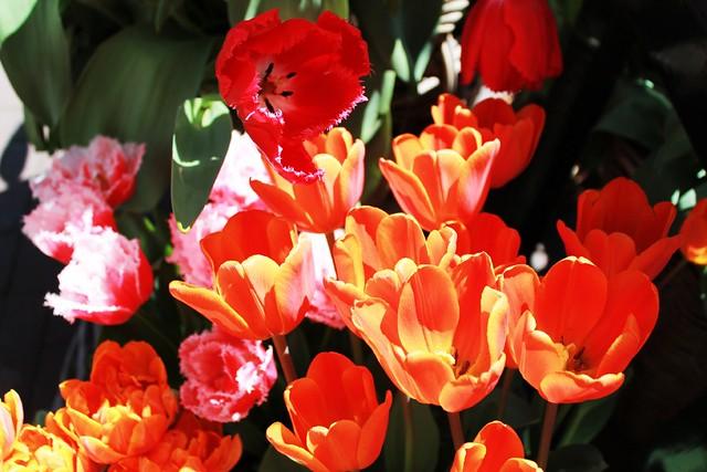 04 Tulipanes de colores